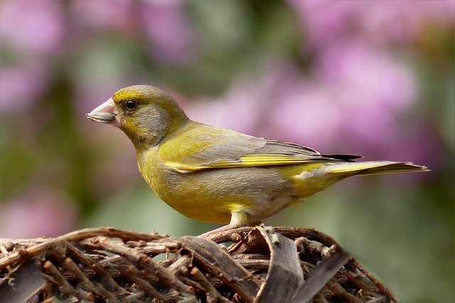 greenfinch-818185-640-1617365772.jpg